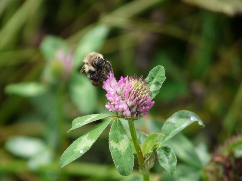 Busy bee, Land Trust site